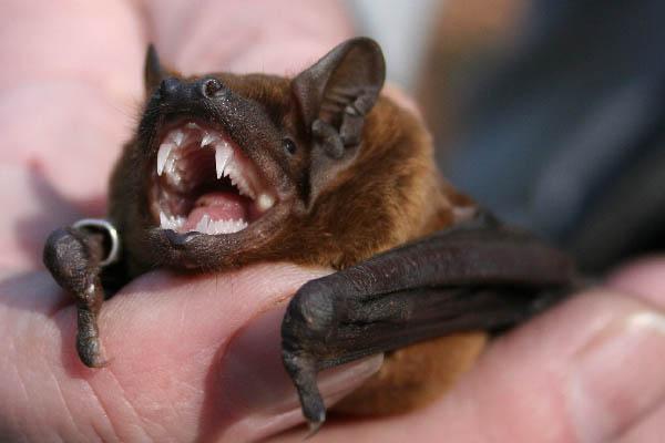 Mit den spitzen Zähnen kann ich leicht den Chitinpanzer eines Maikäfers knacken. Übrigens die Scheidezähne sind nicht abgebrochen. Sie fehlen bei uns Fledermäusen immer.