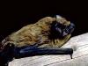 Unsere erste Fledermaus, ein Kleiner Abendsegler (Foto: Dr. Henning Vierhaus)