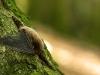Eine Rauhhautfledermaus im Wald