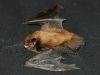 Und hier bin ich mit ausgebreiteten Flügeln, die sind ganz schön groß für meinen kleinen Körper.