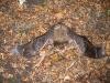 Die mit dem Kopf in den Nacken gestreckte Körperhaltung, verbunden mit lautem Schreien, wurde von uns häufig bei Teichfledermäusen beobachtet, welche aus einem Kasten entnommen wurde. Deckt man sie mit einem Tuch zu, so beruhigen sie sich sofort.
