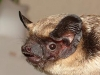 Zweifarbfledermaus (Vespertilio murinus/Parti-coloured Bat)