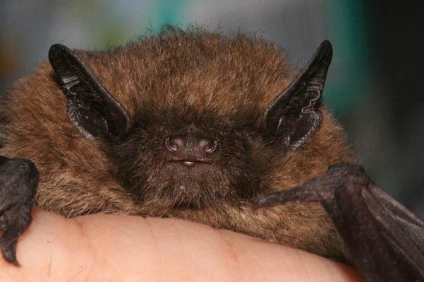 Die dunklen Ohren und Schnauze wirken als hätte das Tier eine Maske aufgesetzt.
