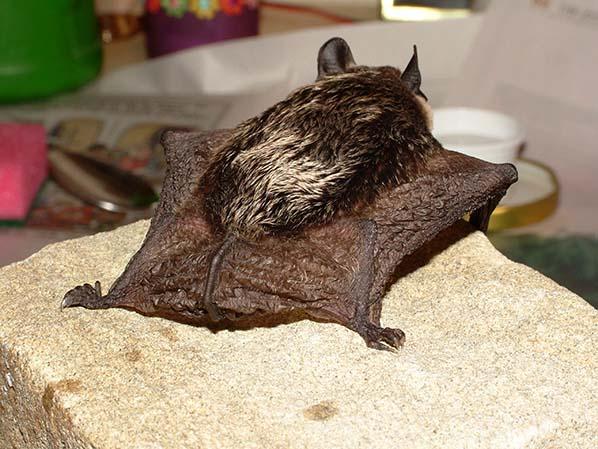 Die Flughaut umspannt bei Fledermäusen den ganzen Körper – mit Ausnahme des Kopfes.