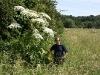 Riesen-Bärenklau, Herkulesstaude (Heracleum mantegazzianum)