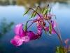 Drüsiges Springkraut (Impatiens glandulifera)