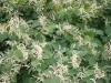 Japanischer Staudenknöterich (Fallopia japonica)