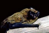 Kleiner Abendsegler (Nyctalus leisleri/Leisler's Bat)