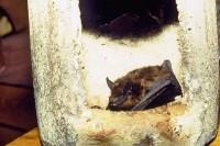 Breitflügelfledermaus (Eptesicus serotinus/Serotine)